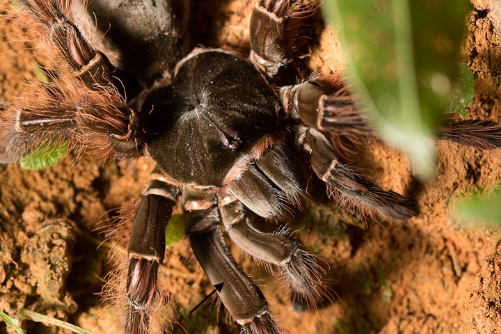 Theraphosa ____. The arrow indicates the femur of the right first leg. THe plumose setae referred to in the paper are on this leg segment in and the femora of the pedipalps and second pair of legs as well.