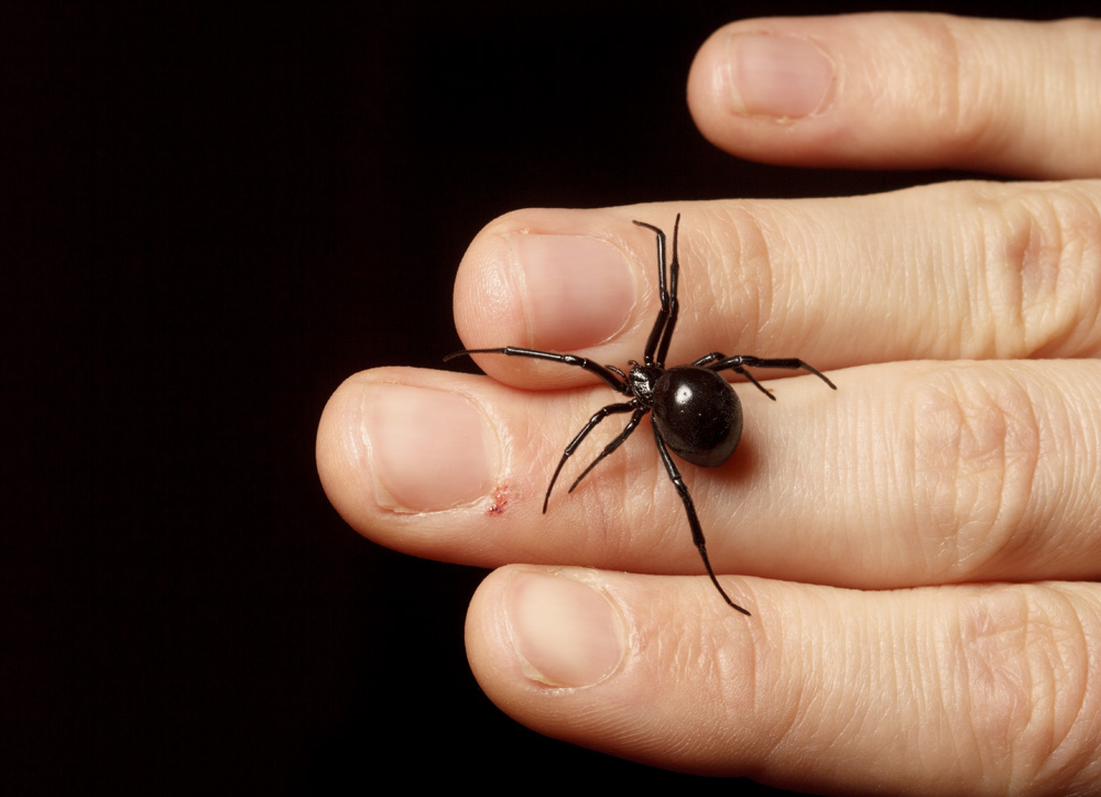 What does a female black widow look like