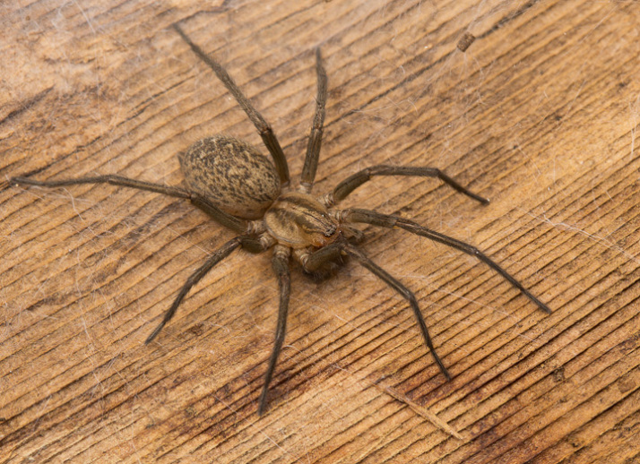 The real house spiders of Vancouver | spiderbytes