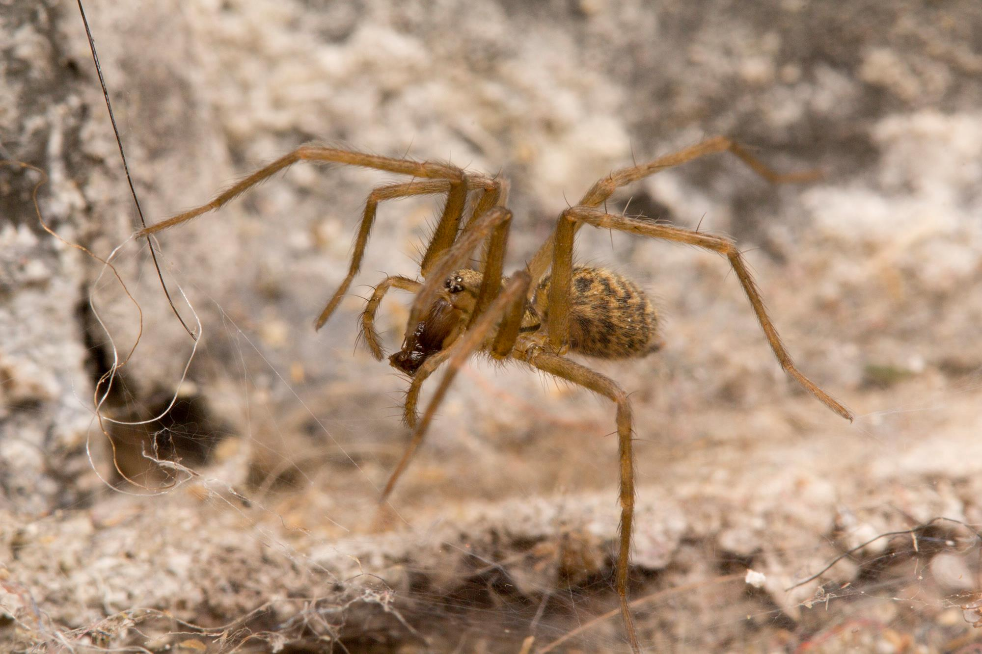Is this a black footed yellow sac spider i found it in my apartment - House Spiders Like This Tegenaria That Set Up Shop Just Inside The Door Of Our Lab Help Out By Snacking On Any Bugs That Might Also Enjoy Living Inside