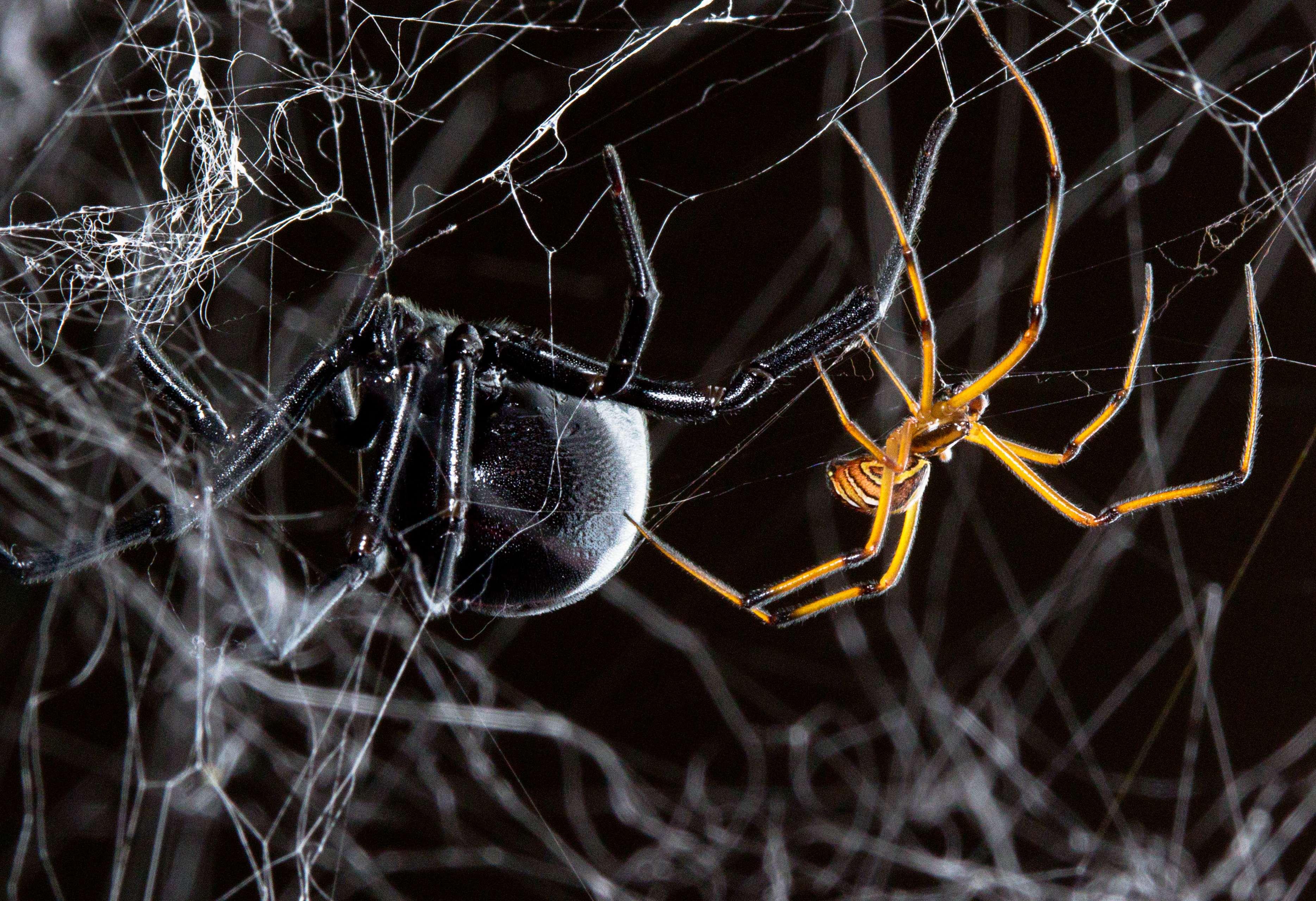 Latrodectus | spiderbytes