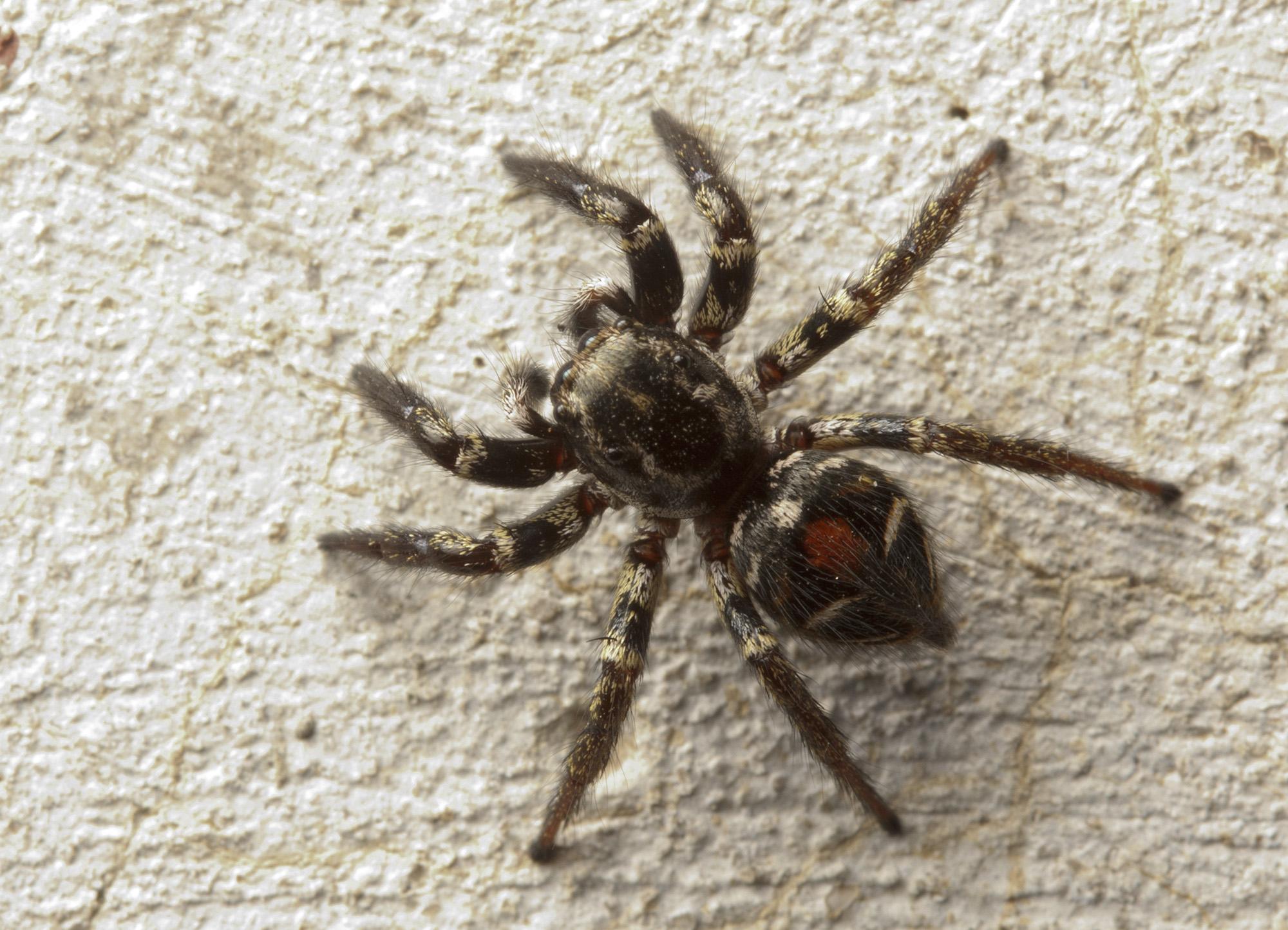 Salticidae | spiderbytes