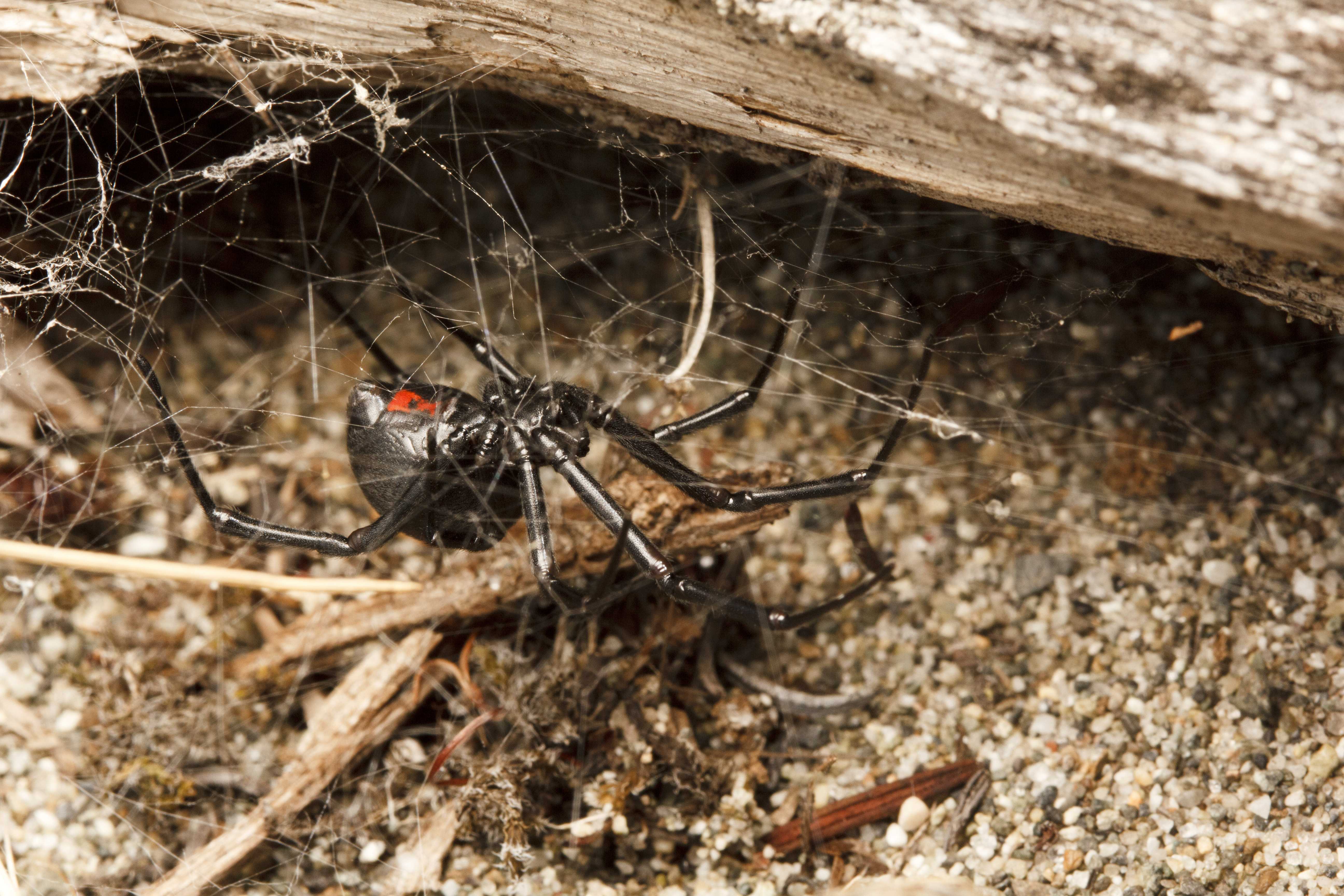 A Western Black Widow Latrodectus Hesperus Hanging From Her Tangle Web Under Log At Island View Beach On Vancouver