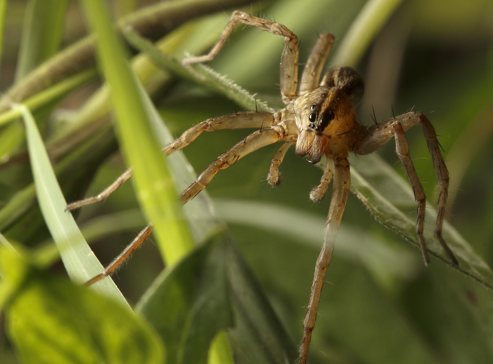 Is this a black footed yellow sac spider i found it in my apartment - Wolf_male
